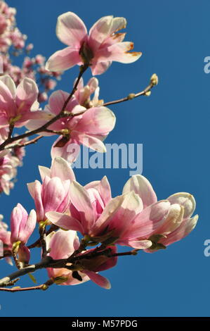 Beautiful light pink Magnolia 'Big Dude' flowers against a clear blue sky with copy space. Springtime theme. Spring - Stock Photo