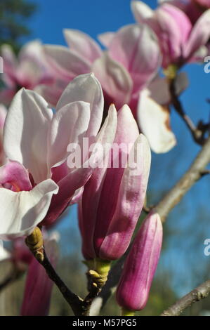 Beautiful light pink Magnolia flowers on branches against a clear blue sky with copy space. Springtime theme. Spring - Stock Photo