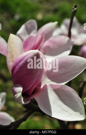Close-up of blooming Magnolia 'Big Dude' flowers on a sunny April day. Detail of a beautiful Magnolia tree. Spring - Stock Photo