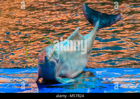 Cute Indo-Pacific humpback dolphin (Sousa chinensis) ,or Pink dolphin, or Chinese white dolphin is playing hoop - Stock Photo