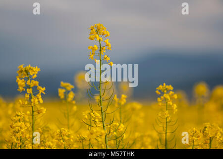 Spring canola flower closeup in a yellow field. Canola is commonly used for rapeseed oil needed in industry. - Stock Photo