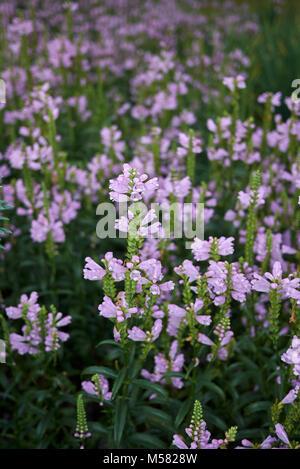 Physostegia virginiana - Stock Photo