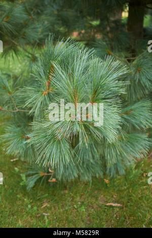 Pinus wallichiana - Stock Photo