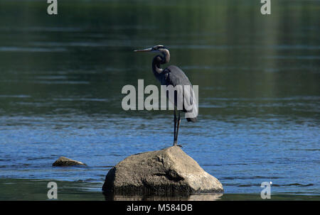 Great Blue Heron resting on rock in Susquehanna River - Stock Photo