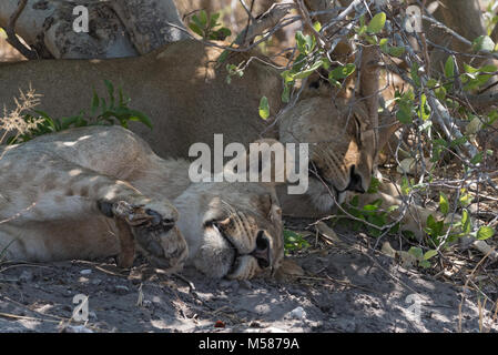 Two sleeping young lions at the roadside in Chobe National Park, Botswana - Stock Photo