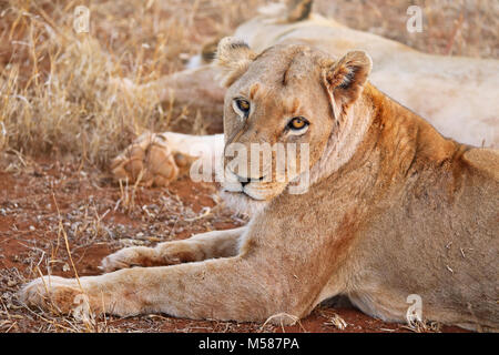 Lioness, Kruger NP, South Africa - Stock Photo