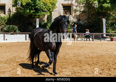 Cordoba, Spain - April 12, 2017: Beautiful black andalusian horse also known as Pure Spanish Horse  in Historic - Stock Photo