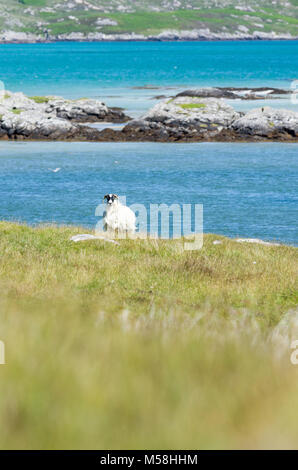 Single sheep in the rugged coastal landscape of the Isle of South Uist, Outer Hebrides, Scotland, UK - Stock Photo