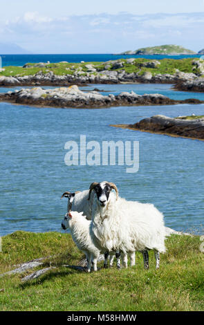 Small group of sheep in the rugged coastal landscape of the Isle of South Uist, Outer Hebrides, Scotland, UK - Stock Photo