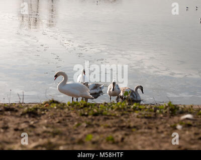 Mute swans with cygnets family beach cold water lake surface outside nature reserve; essex; england; uk - Stock Photo