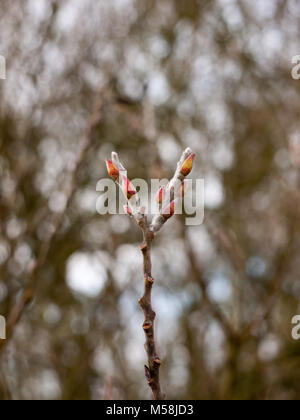 close up of two budding tips of tree in winter; essex; england; uk - Stock Photo