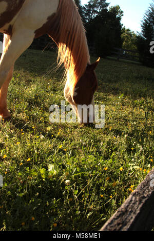Beautiful horse grazing on the field in spring day - Stock Photo