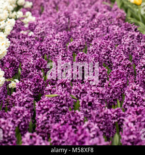 Purple hyacinths flowers blooming in a garden - Stock Photo
