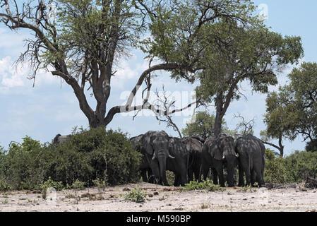 Elephants herd under a tree group in Chobe National Park, Botswana - Stock Photo