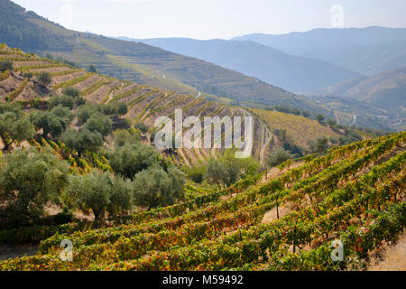 Terraced Vineyards, near Pinhao, Douro River Valley, Portugal - Stock Photo