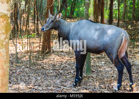 Cute Nilgai (Boselaphus tragocamelus), also known as the nilgau or blue bull, the largest Asian antelope and is - Stock Photo
