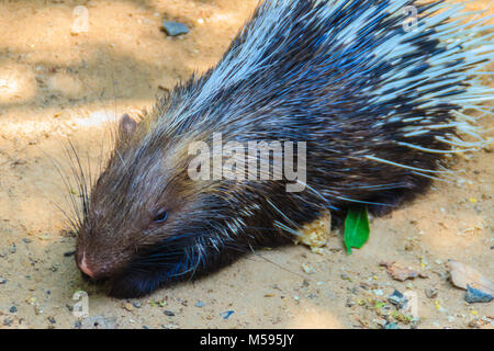 Cute Malayan porcupine, Himalayan porcupine, Large porcupine (Hystrix brachyur), a species of rodent in the family - Stock Photo