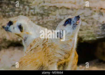Suricate or meerkat (Suricata suricatta)  is a small carnivoran belonging to the mongoose family. It is the only - Stock Photo