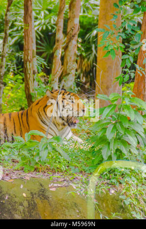 Siberian tiger (Panthera tigris tigris), also called Amur tiger,  is a tiger population inhabiting mainly the Sikhote - Stock Photo