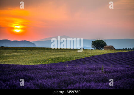 Lavender fields at sunset near the village of Valensole, Provence, France. - Stock Photo