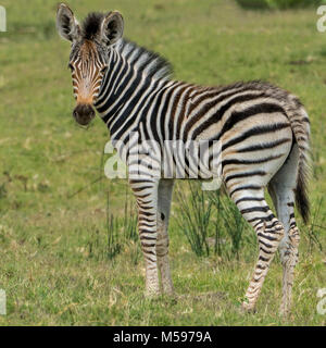 young zebra standing alone looking over the savanha - Stock Photo