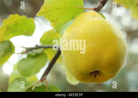 Cydonia Oblonga Vranja Quince. Scented fruits of quince 'Vranja' ripened on the branch, UK - Stock Photo
