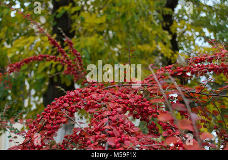 Buckthorn berries close up, and trees in background - Stock Photo