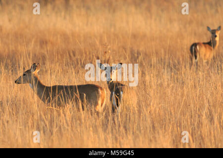 A Female group of White Tail Deer enjoying the grasslands of the  Tallgrass Prairie Preserve located in Pawhuska, - Stock Photo