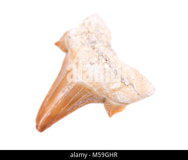 Authentic fossilized prehistoric shark tooth from Morocco isolated on white background - Stock Photo