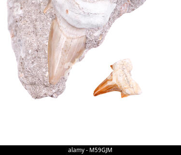 Fossil shark tooth embedded in a piece of Miocene limestone from Victoria in Australia and authentic fossilized - Stock Photo