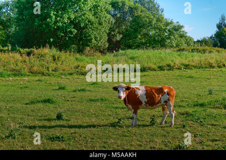 Scottish highland cows graze in the field near the forest - Stock Photo