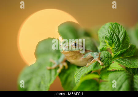 European tree frog between green leaves with sun in background - Stock Photo