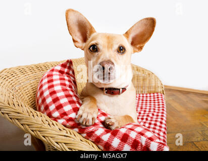 cuddly  podenco  dog  resting or relaxing  on the blanket in bed in   bedroom, ill ,sick or tired. - Stock Photo