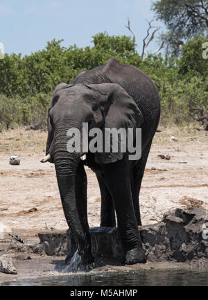 Elephant at a waterhole in Chobe National Park, Botswana - Stock Photo