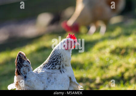 White and black leghorn chicken with red upright comb - Stock Photo