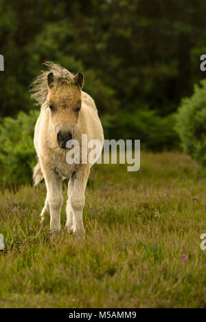 New Forest ponies roaming the national park during the summer. - Stock Photo