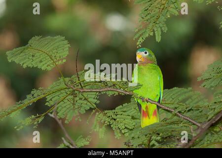 Yellow-billed Amazon Parrot (Amazona collaria)  Vulnerable, Endemic to Jamaica, wild