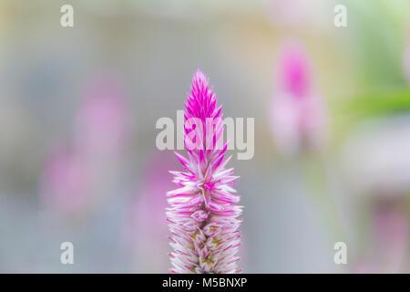 Celosia argentea Purple and white flower, Beautiful pink celosia flamingo feather flowers, Texture of Beautiful - Stock Photo