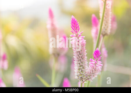 Celosia argentea Purple and white flower, Beautiful pink celosia flamingo feather flowers, Texture of Beautiful - Stock Photo