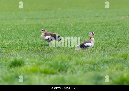 two natural egyptian nile geese (alopochen aegyptiaca) standing in green meadow - Stock Photo