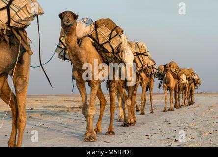 Dromedary caravan carrying salt (halite) slabs over Lake Assale, Danakil depression, Afar region, Ethiopia - Stock Photo