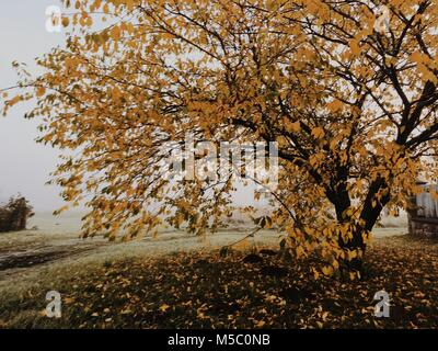 Apple tree. Golden-foggy morning in the manor park. - Stock Photo