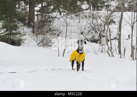 Photo of standing male doberman dog with snow on his face.  Snowy background and winter scene. Copy space to the - Stock Photo