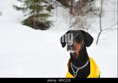 Closeup photo of male doberman dog with snow on his face.  Snowy background and winter scene. Copy space to the - Stock Photo