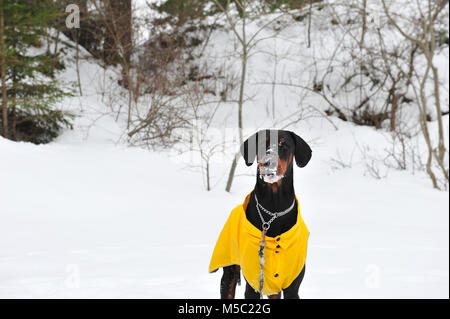 Photo of male doberman dog with snow on his face.  Snowy background and winter scene. Copy space to the left of - Stock Photo