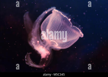 Close-up picture of beautiful jellyfish floating in ocean - Stock Photo