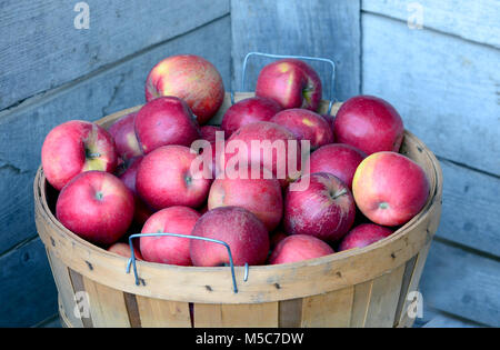 Full bushel basket of red and yellow gala apples fresh picked from a Michigan USA orchard - Stock Photo