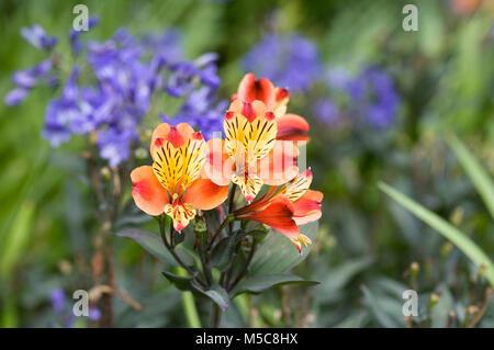 Alstroemeria 'Summer Breeze' in an herbaceous border. - Stock Photo