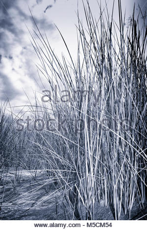 Sand dune grass clouds close-up black and White - Stock Photo