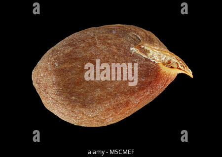 Malus domestica, Apple tree, Kultur-Apfelbaum, seed, close up, seed size 7-10 mm - Stock Photo